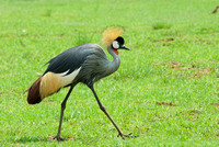 Grey Crowned Crane - South Africa