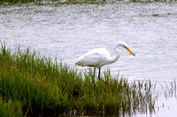 Great Egret - Oregon